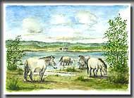 Wildpferde am Federsee (Bild: R. Gäffgen)